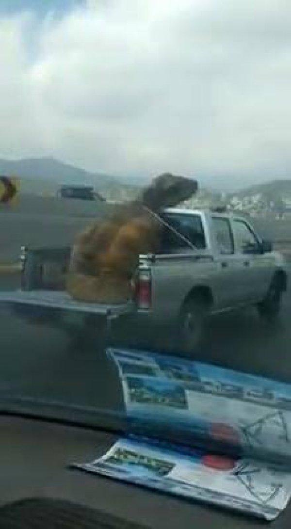 Aquele momento que você vê um dinossauro na carroceria de um veículo!