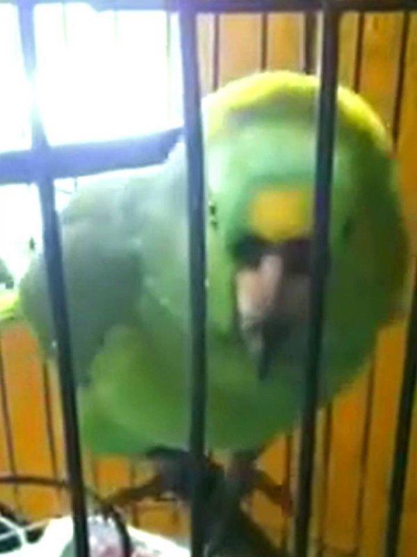 Papagaio imitando choro de bebê, nossa que perfeição, inacreditável!