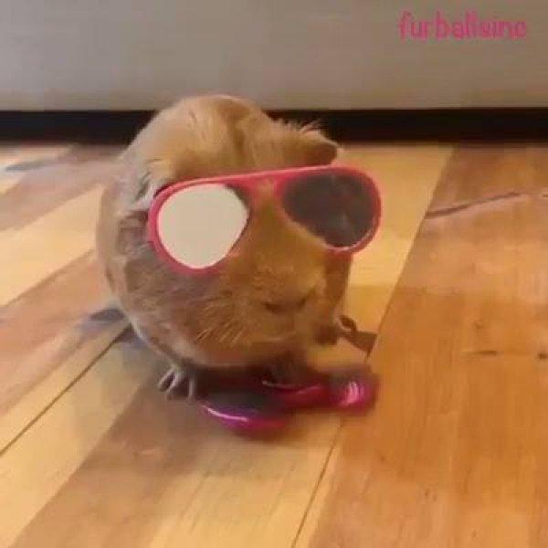 Acha que os animais não sabem brincar de Spinner? Veja que engraçado!