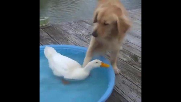 Amizade entre cachorro e pato, olha só que imagens mais fofas!!!