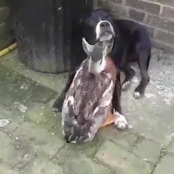 Amizade entre pato e cachorro, é impressionante o amor estre os dois!!!
