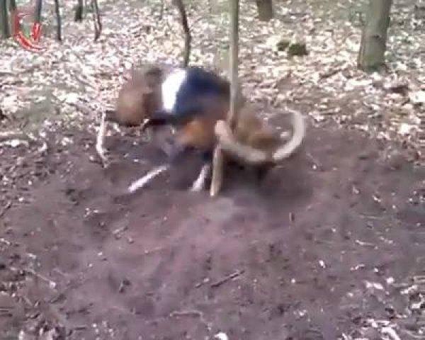 Animal fica com chifre preso em árvore, ainda bem que ajudaram ele!