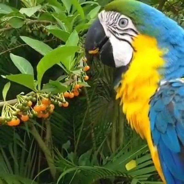 Arara comendo frutinhas em uma arvore, veja que lindo pássaro!!!
