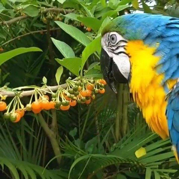 Arara comendo frutinhas na arvore, veja que coisa mais linda!!!
