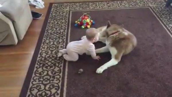 Bebê brincando com seu cachorro Husky Siberiano, que coisa mais fofa!