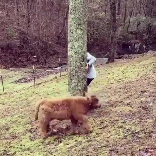 Bezerro tentando achar o dono escondido atrás do tronco da arvore!!!