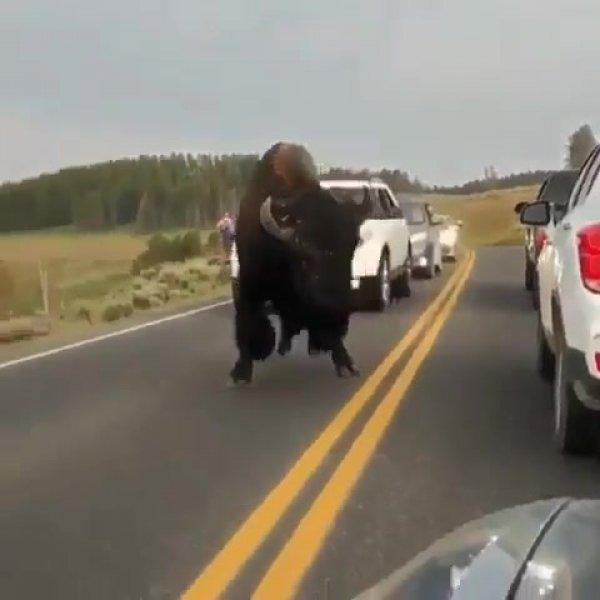 Bisão americano andando em uma estrada, veja que tamanho de animal!!!