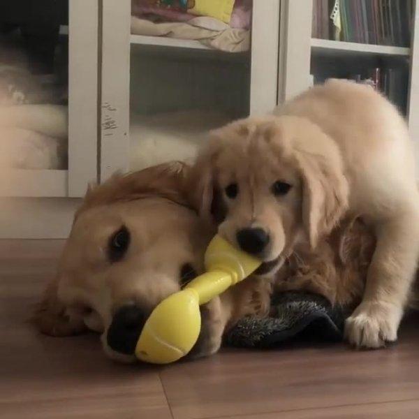Brincadeira de mamãe cachorra e filhote, veja que fofura de dupla!