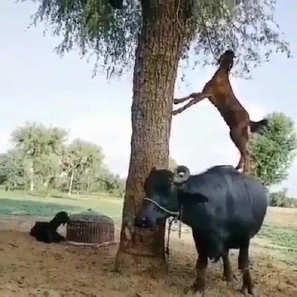 Cabra sobe em outro animal para comer folhas da árvore, bichinha esperta!