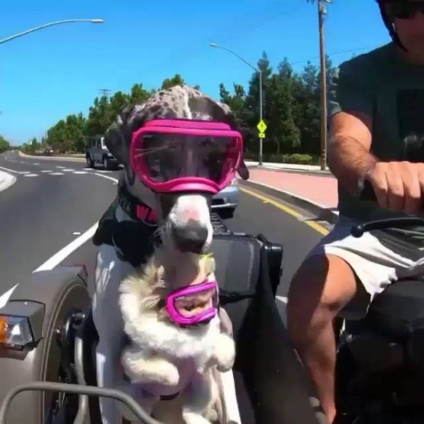 Cachorra passeando com o papai humano de moto e carregando sua amiguinha!