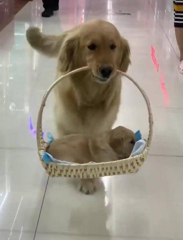 Cachorra passeando com seu filhote dentro de uma cestinha!!!
