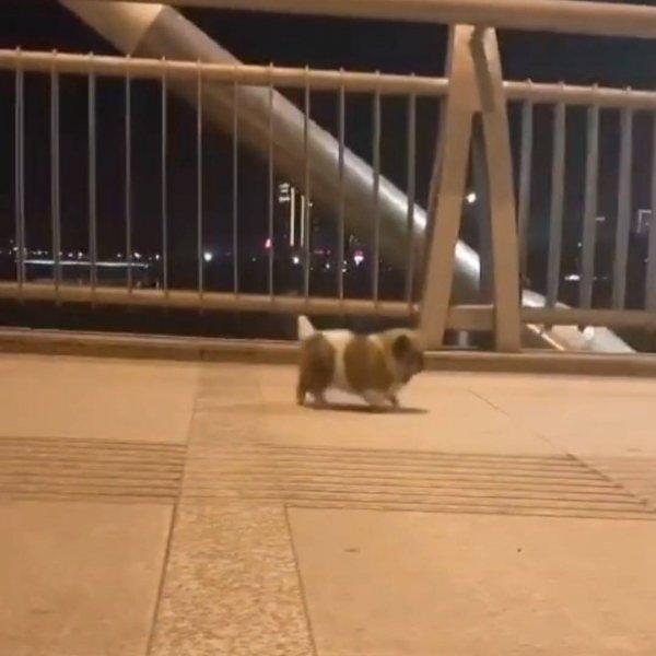 Cachorrinho andando como se estivesse dando pulinhos, confira que fofura!