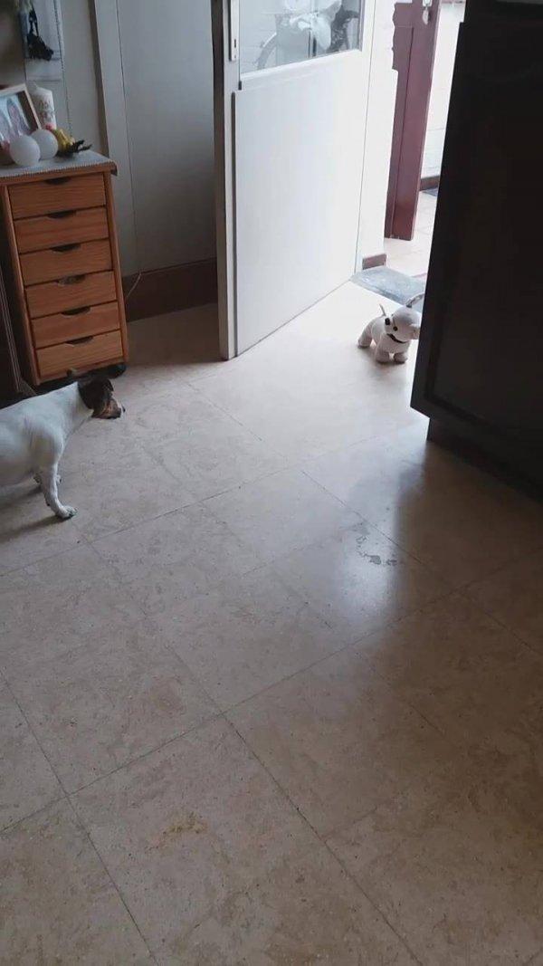 Cachorrinho assustado com cachorro de brinquedo, olha só a braveza!!!