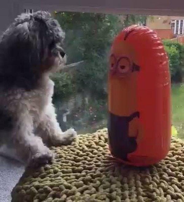 Cachorrinho brincando com João Bobo dos Minions, veja como ele se diverte!!!