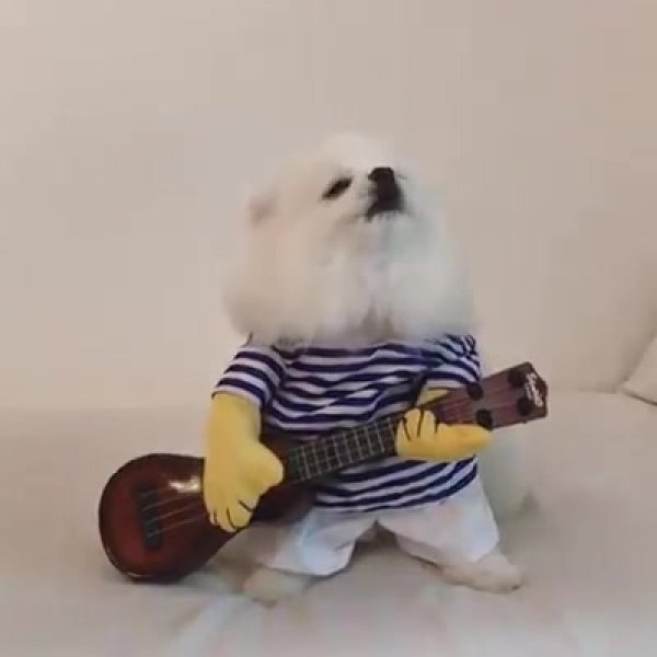 Cachorrinho com fantasia de cantor, olha só este uivadinho fofo!!!