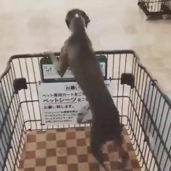 Cachorrinho feliz de ir ao supermercado, olha só a ansiedade dele!!!