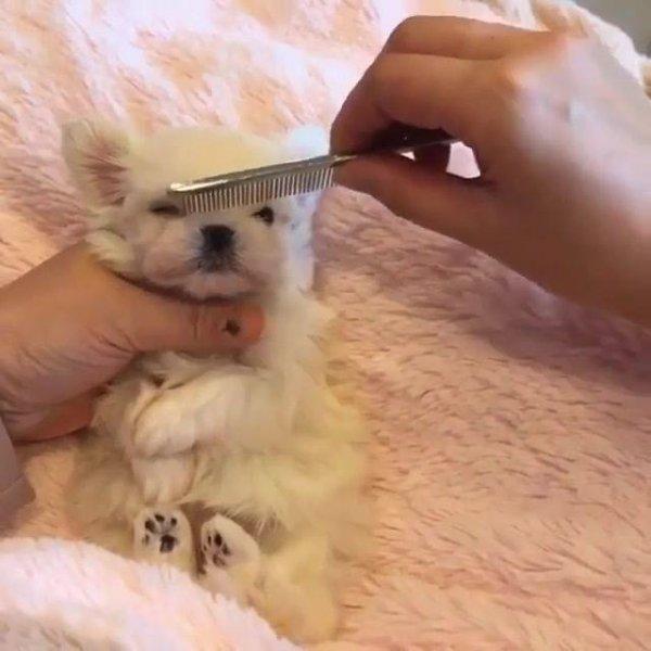 Cachorrinho filhote que se parece com uma bolinha de pelo, confira!