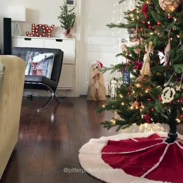 Cachorrinho peludo caminhando com patas traseiras e chapéu de Natal!