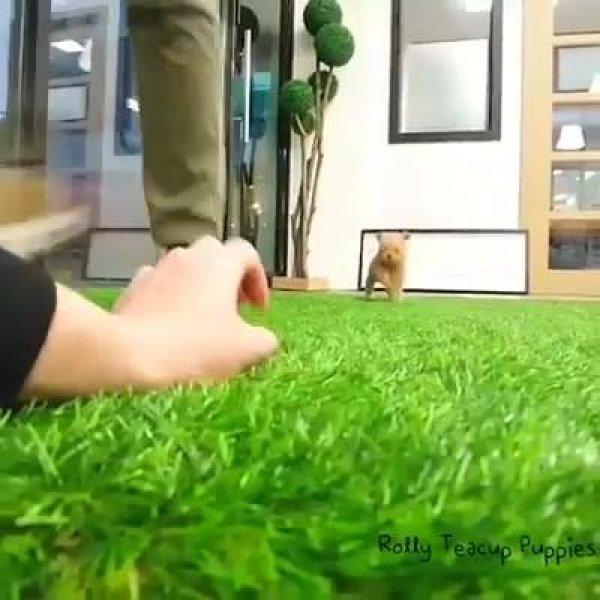 Cachorrinho que se parece de mentira, ele é muito pequeno, confira!