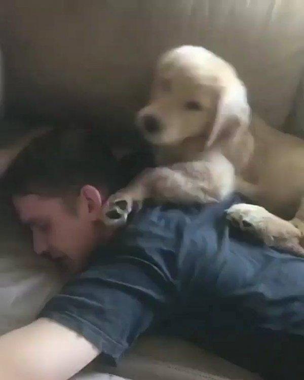Cachorrinho se ajeitando para dormir a cabeça do papai humano!