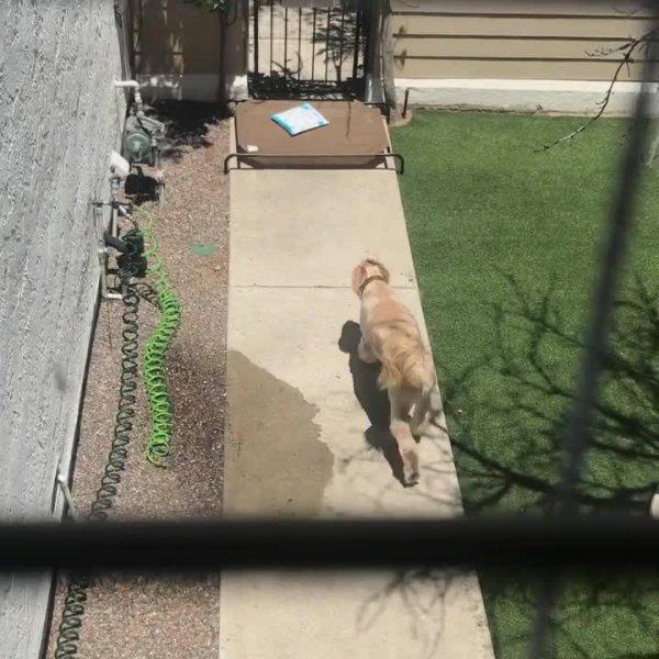 Cachorrinho vai até o portão pegar correspondência para seu dono!!!