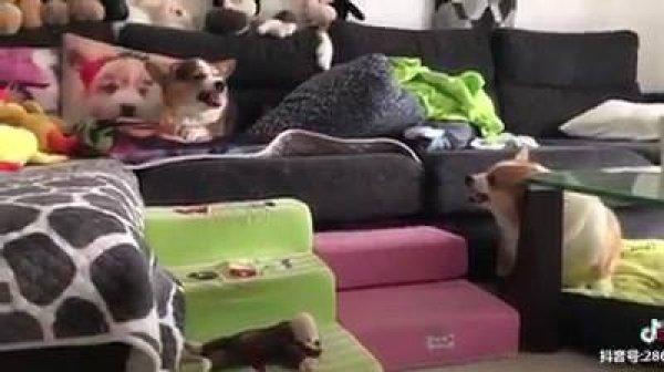 Cachorrinhos brigando, a briga mais engraçada que você vai ver na vida!!!