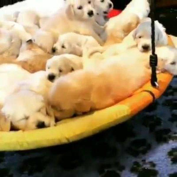 Cachorrinhos filhotes no balancinho, veja quanta fofura juntas!