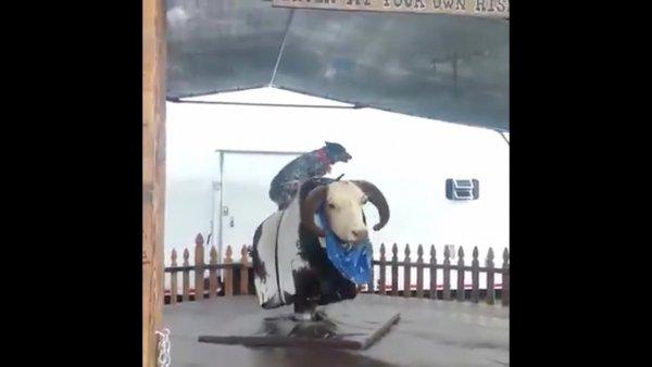 Cachorro brincando em touro mecânico, veja como ele manda bem!!!