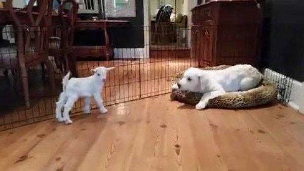 Cachorro com cabritinho, olha só que coisinha mais fofinha!!!