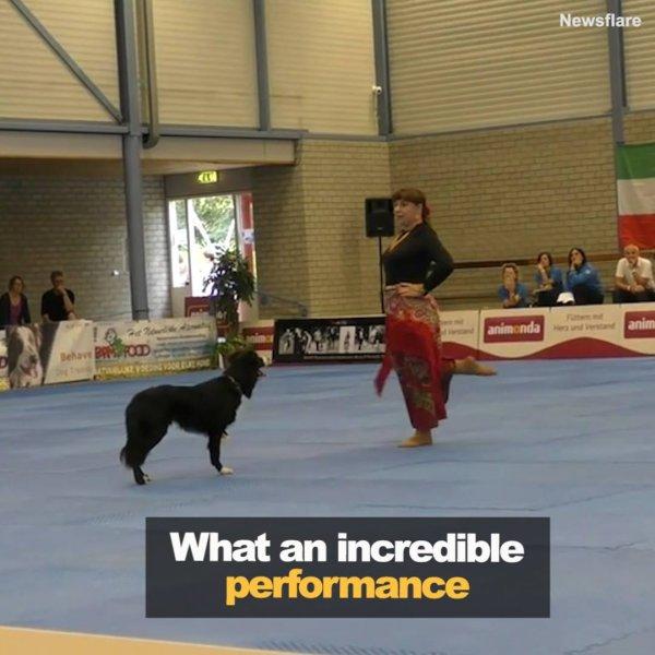 Cachorro da raça Border Colie fazendo linda apresentação de dança com mulher!