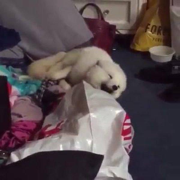 Cachorro dando risada, veja que engraçado, parece até mentira!
