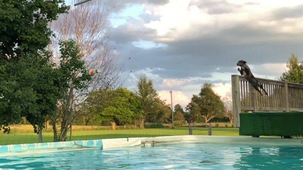 Cachorro dando salto incrível na piscina, olha só que lindo!!!!