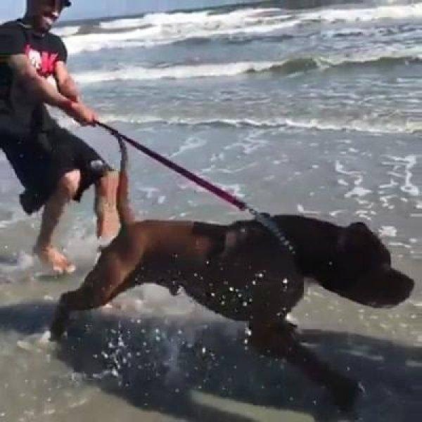Cachorro de porte físico forte e muito bonito, confira e compartilhe!
