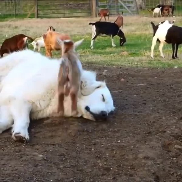 Cachorro deitado e mini cabras pulando nele, que bichinhos fofinhos!