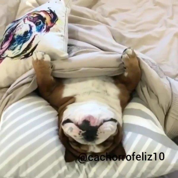 Cachorro dormindo feliz, olha que conforto ele tem, que fofura!