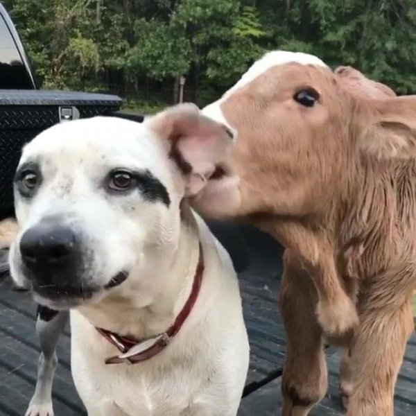 Cachorro e bezerro trocando carinhos, os animais sempre nos surpreendendo!!!