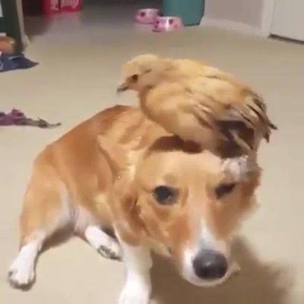 Cachorro e galinhazinha uma amizade muito fofa e bonitinha!!!