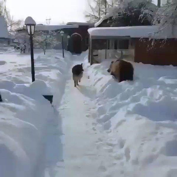 Cachorro e urso uma bela amizade, olha só que urso brincalhão!!!