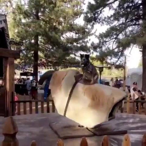 Cachorro montando touro mecânico, ele manda muito bem, confira!!!