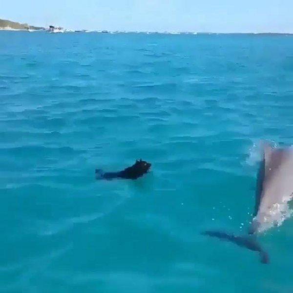 Cachorro nadando com golfinho, animais sempre nos surpreendendo!!!