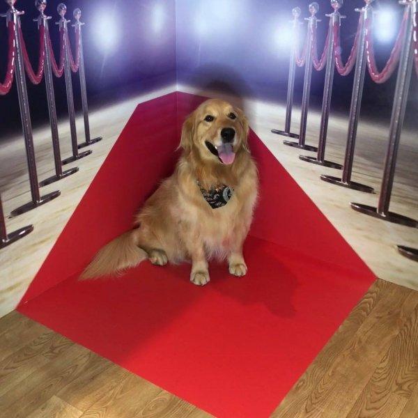Cachorro no tapete vermelho, ele esta todo glamouroso hahaha!