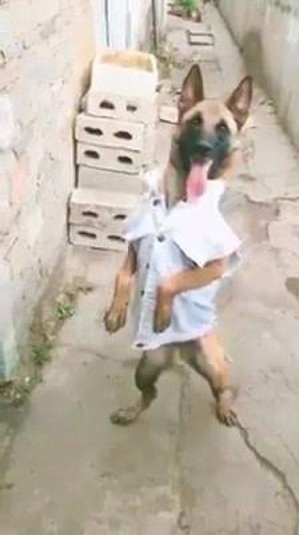 Cachorro pagando de Play Boy com camisa social hahaha, que engraçado!