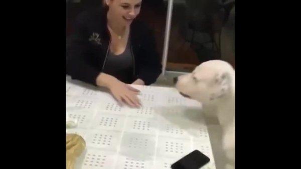 Cachorro protegendo o celular do papai, esse video é para você rir hahaha!