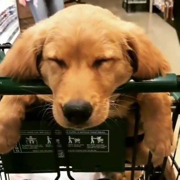 Cachorro tirando cochilo em supermercado, igual uma criança!