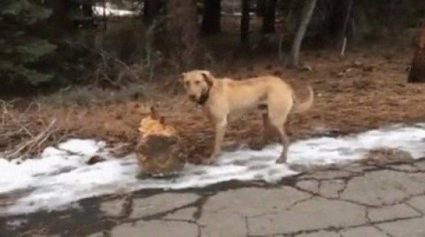 Cachorro trazendo um toquinho de uma arvore, olha só o tamanho!!!