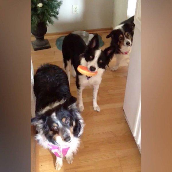 Cachorros brincando com seus donos, olha só como eles são engraçadinhos!!!