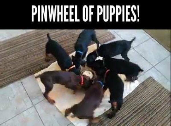 Cachorros comendo e girando, essa você nunca tinha visto, confira!