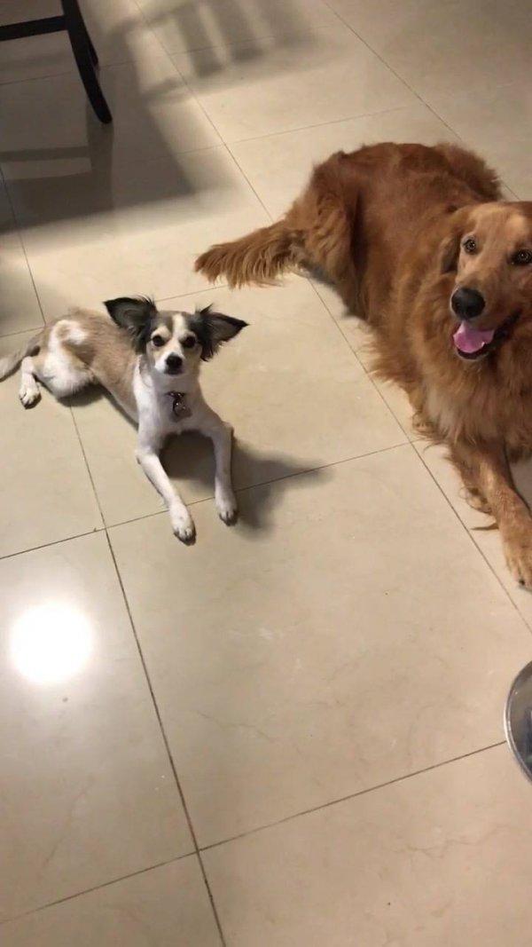 Cachorros esperando a mamãe humana cantar a canção do almoço para comer!