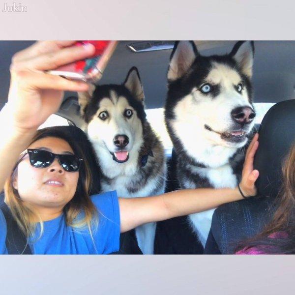 Cachorros Huskies Siberianos fazendo coisas engraçadas, eles são demais!