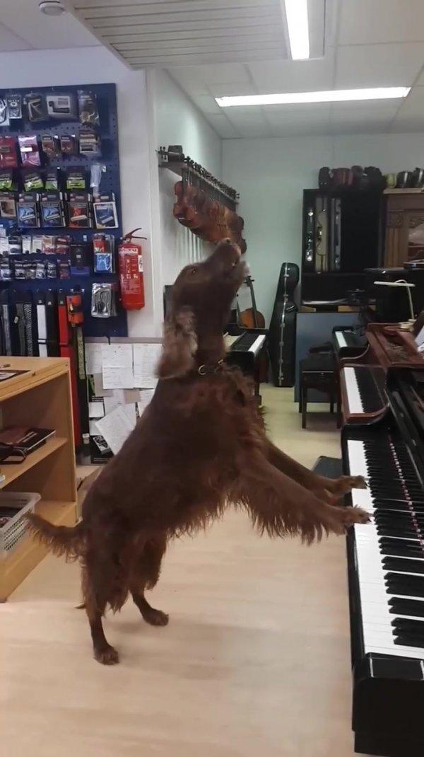 Cão pianista e cantor, por essa você não esperava, confira o show!